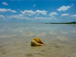 Pear whelk on tropical island